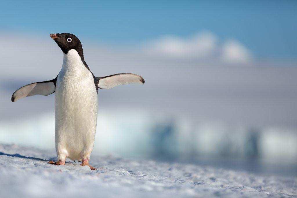 Disneynature - Penguins - Steve